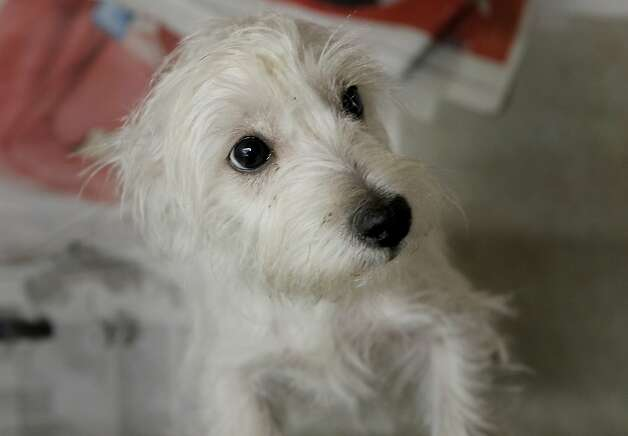 Scooter, a terrier mix, is waiting for someone to take him home. Animal rights advocates are upset over a provision in Gov. Brown's California budget proposal that would roll back protections for shelter animals. In San Francisco, officials at the city Animal Care and Control are still planning to keep lost and adoptable animals as long as possible. Photo: Brant Ward, The Chronicle