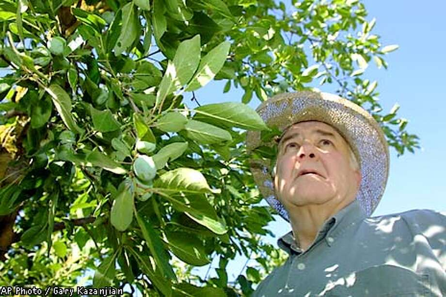 Gus Collin III, 62, checks an overabundant prune crop Monday, June 4, 2001, at a Visalia, Calif., ranch. Farmers like Collin are being encouraged to let much their fruit rot in the fields rather than add to the oversupply putting the California prune industry in dire straights. Many will also be paid to bulldoze their orchards this year in an industry effort to keep production down for the next several years. (AP Photo/Gary Kazanjian) Photo: GARY KAZANJIAN