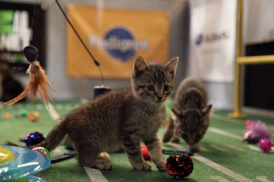 The kittens play during Kitty Half-time. Photo: Kim Holcombe., Animal Planet / Discovery Communications