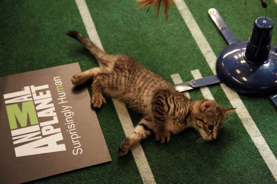 A kitten plays during Kitty Half-time. Photo: Kim Holcombe., Animal Planet / Discovery Communications