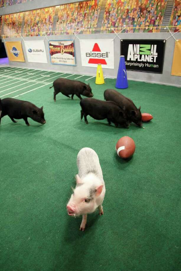The piglets cheer on the pups. Photo: Kim Holcombe., Animal Planet / Discovery Communications