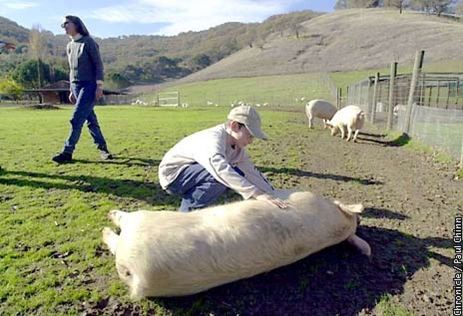 Sanctuary visitor Harrison Smith-Jaoudi rubbed Susie the pig. Kim Sturla operates the Animal Place sanctuary in Vacaville for pigs, goats and many other farm animals.  PAUL CHINN/S.F. CHRONICLE Photo: PAUL CHINN