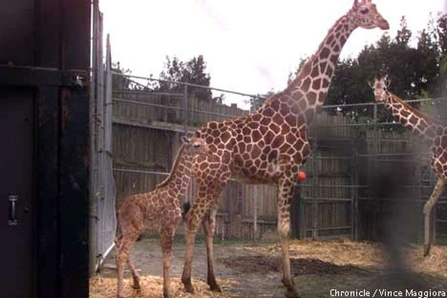 A male giraffe born Dec. 11 made a shaky-legged debut at the Oakland Zoo yesterday morning, although the toddler -- a 6-footer weighing 150 pounds -- won't go on display until Wednesday. The zoo is seeking a donation of $10,000; the donor can name him. Chronicle photo by Vince Maggiora