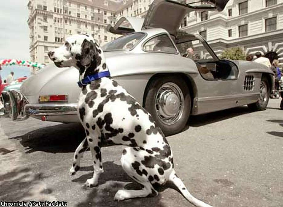 """PHOTO BY KATY RADDATZ--THE CHRONICLE  Vintage car show at the Fairmont Hotel in SF, showcasing the cars participating in the California Mille. SHOWN: Dalmation is """"Tiger"""" near a 54 Mercedes 300SL Gullwing. """"Tiger"""" couldn't care less about the lovely cars--he has eyes only for his master, Robert Jackson, of SF, who dropped by to see the cars. Photo: KATY RADDATZ"""