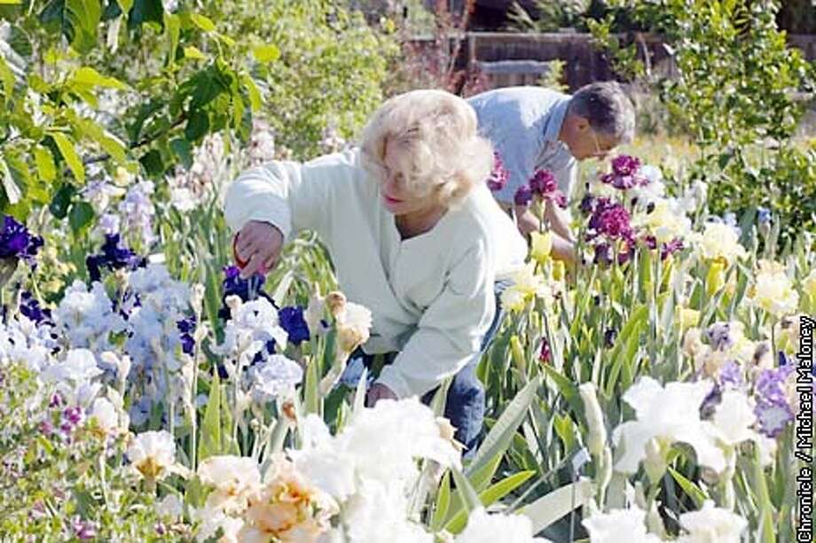 Carolyn and Wayne Craft work in their iris garden.  Carolyn and Wayne Craft of Los Gatos have a backyard full of iris' which they open up to the public on weekends for tours.  CHRONICLE PHOTO BY MICHAEL MALONEY Photo: MICHAEL MALONEY