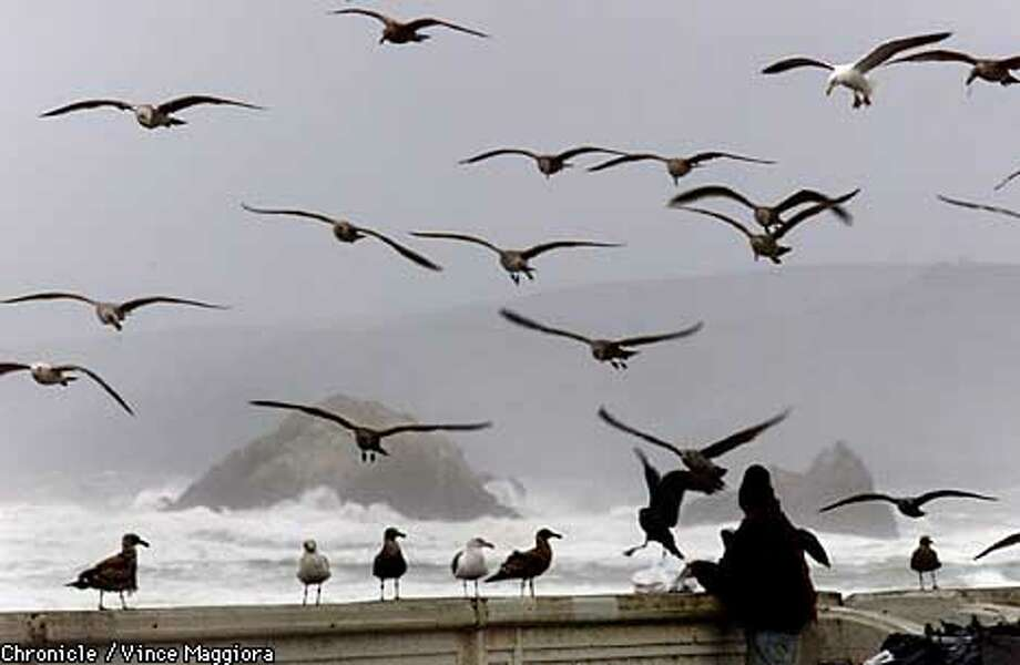 Gulls in the wind at SF Ocean beach  by Vince Maggiora Photo: VINCE MAGGIORA