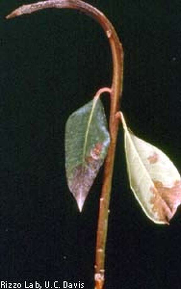 Dark lesions on rhododendron leaves, top left, are caused by the same pathogen responsible for sudden oak death, and rhododendrons may spread the disease. Photo courtesy of Rizzo Lab, U.C. Davis