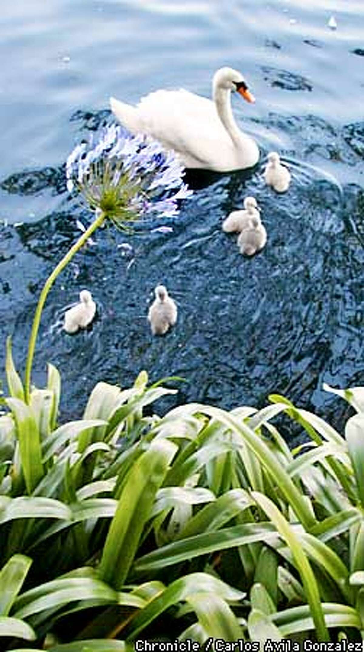 Friday, a Cygnet Swan, at the Palace of Fine Arts in San Francisco, Ca., with her five baby swans on Monday, May 6, 2002. (CARLOS AVILA GONZALEZ/SAN FRANCISCO CHRONICLE)