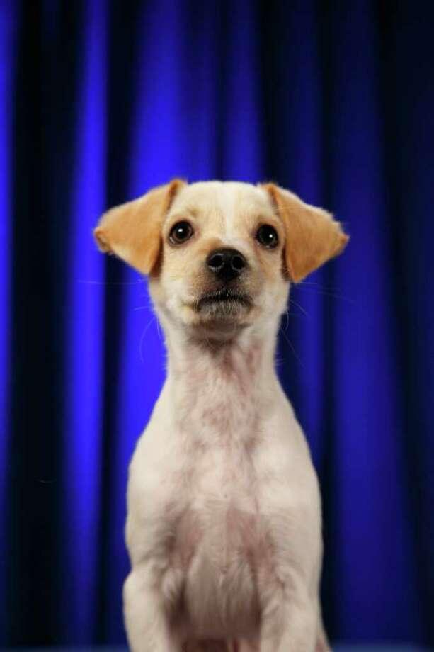 Fumble:Chihuahua/Terrier Mix Photo: Kim Holcomb, Animal Planet / Animal Planet