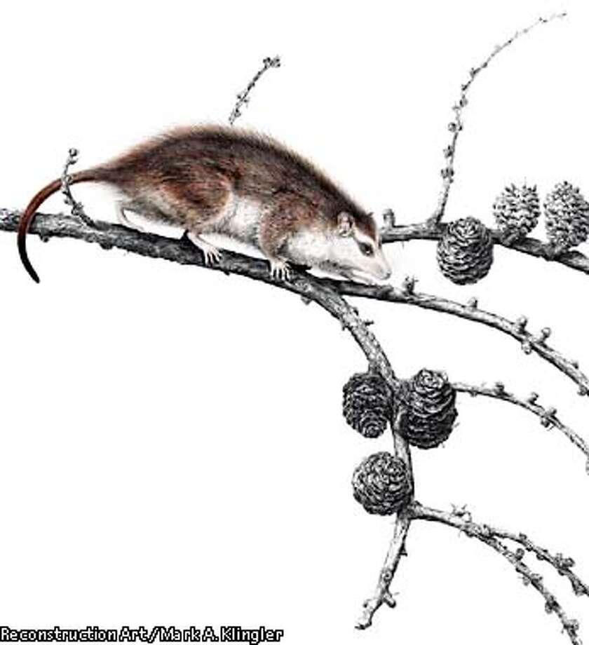Reconstruction of the earliest eutherian, Eomaia scansoria as a small and agile mammal capable of climbing and branch-walking in low bushes. Eomaia scansoria was approximately 14 cm (~5 inches) long with an estimated body mass of 20 to 25 grams. It was an insectivore and lived in a lake-shore and bush environment. Reconstruction Art by: Mark A. Klingler/CMNH  (HANDOUT PHOTO) Photo: HANDOUT