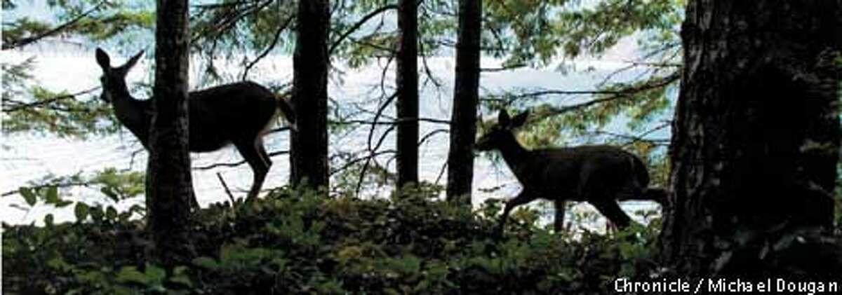 Two black-tailed deer creep along the north shore of Lake Crescent, just off the Spruce Railroad Trail. Chronicle photo by Michael Dougan