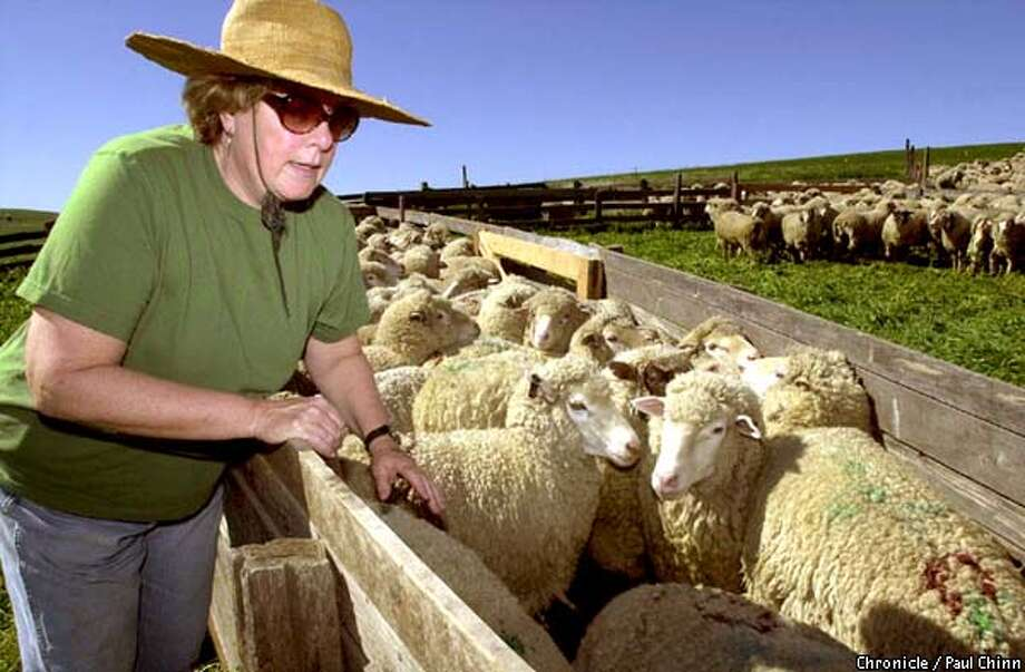 Sheep and lamb rancher Jeanne McCormack coaxed a flock of her sheep to line up for an annual shearing at McCormack Ranch in Rio Vista.  PAUL CHINN/S.F. CHRONICLE Photo: PAUL CHINN