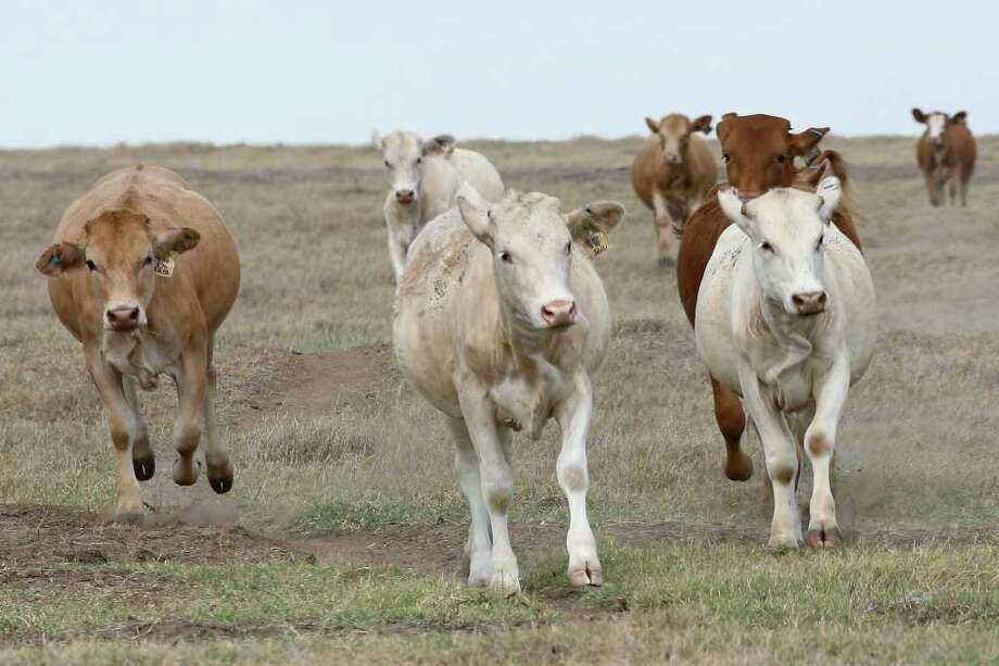 A siren call lets heifers know a rancher is spreading protein range cubes for them on a Wilson County pasture in August. Many ranchers have taken a hit from the severe, persistent drought. Photo: JERRY LARA / SAN ANTONIO EXPRESS-NEWS