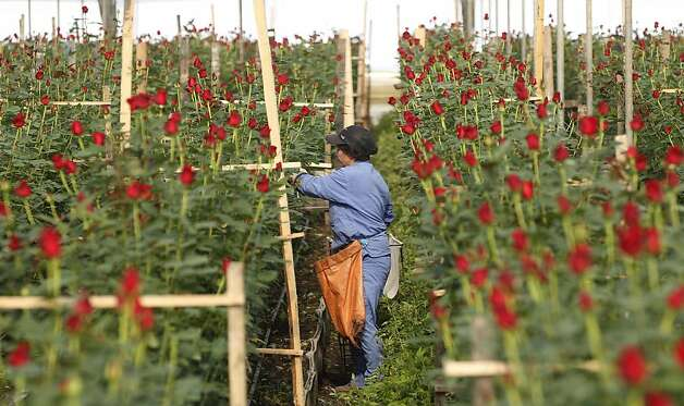 A woman cuts roses to be shipped to the US ahead of Valentine's Day, the biggest holiday of the year for fresh-cut flower sales at the Mongibello flower company in Chia, north of Bogota, Colombia, Monday, Jan. 30, 2012. According to statistics from the Society of American Florists more than 80 percent of the roses bought in the US for this holiday come mainly from Colombia and Ecuador. (AP Photo/Fernando Vergara) Photo: Fernando Vergara, Associated Press