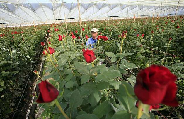 A worker cuts roses to be shipped to the US ahead of Valentine's Day, the biggest holiday of the year for fresh-cut flower sales at the Mongibello flower company in Chia, north of Bogota, Colombia, Monday, Jan. 30, 2012. According to statistics from the Society of American Florists more than 80 percent of the roses bought in the US for this holiday come mainly from Colombia and Ecuador. (AP Photo/Fernando Vergara) Photo: Fernando Vergara, Associated Press