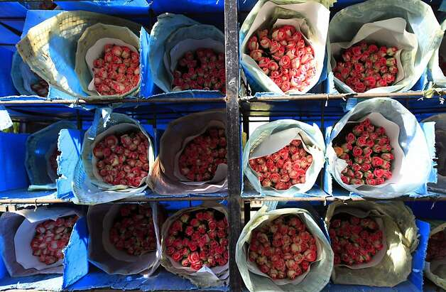 Roses are seen packed before being shipped to the US ahead of Valentine's Day, the biggest holiday of the year for fresh-cut flower sales at the Mongibello flower company in Chia, north of Bogota, Colombia, Monday, Jan. 30, 2012. According to statistics from the Society of American Florists more than 80 percent of the roses bought in the US for this holiday come mainly from Colombia and Ecuador. (AP Photo/Fernando Vergara) Photo: Fernando Vergara, Associated Press