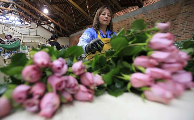 A worker packs roses to be shipped to the US ahead of Valentine's Day, the biggest holiday of the year for fresh-cut flower sales at the Mongibello flower company in Chia, north of Bogota, Colombia, Monday, Jan. 30, 2012. According to statistics from the Society of American Florists more than 80 percent of the roses bought in the US for this holiday come mainly from Colombia and Ecuador. (AP Photo/Fernando Vergara) Photo: Fernando Vergara, Associated Press