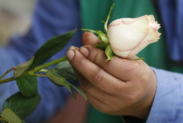 A worker packs a rose to be shipped to the US ahead of Valentine's Day, the biggest holiday of the year for fresh-cut flower sales at the Mongibello flower company in Chia, north of Bogota, Colombia, Monday, Jan. 30, 2012. According to statistics from the Society of American Florists more than 80 percent of the roses bought in the US for this holiday come mainly from Colombia and Ecuador. (AP Photo/Fernando Vergara) Photo: Fernando Vergara, Associated Press