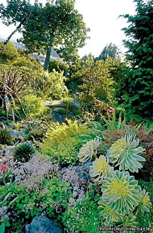 A view of most of the garden that Harlan Hand created with an aeonium variegated plant in the front to the right. Photo by Gina Gayle/The SF Chronicle. Photo: GINA GAYLE