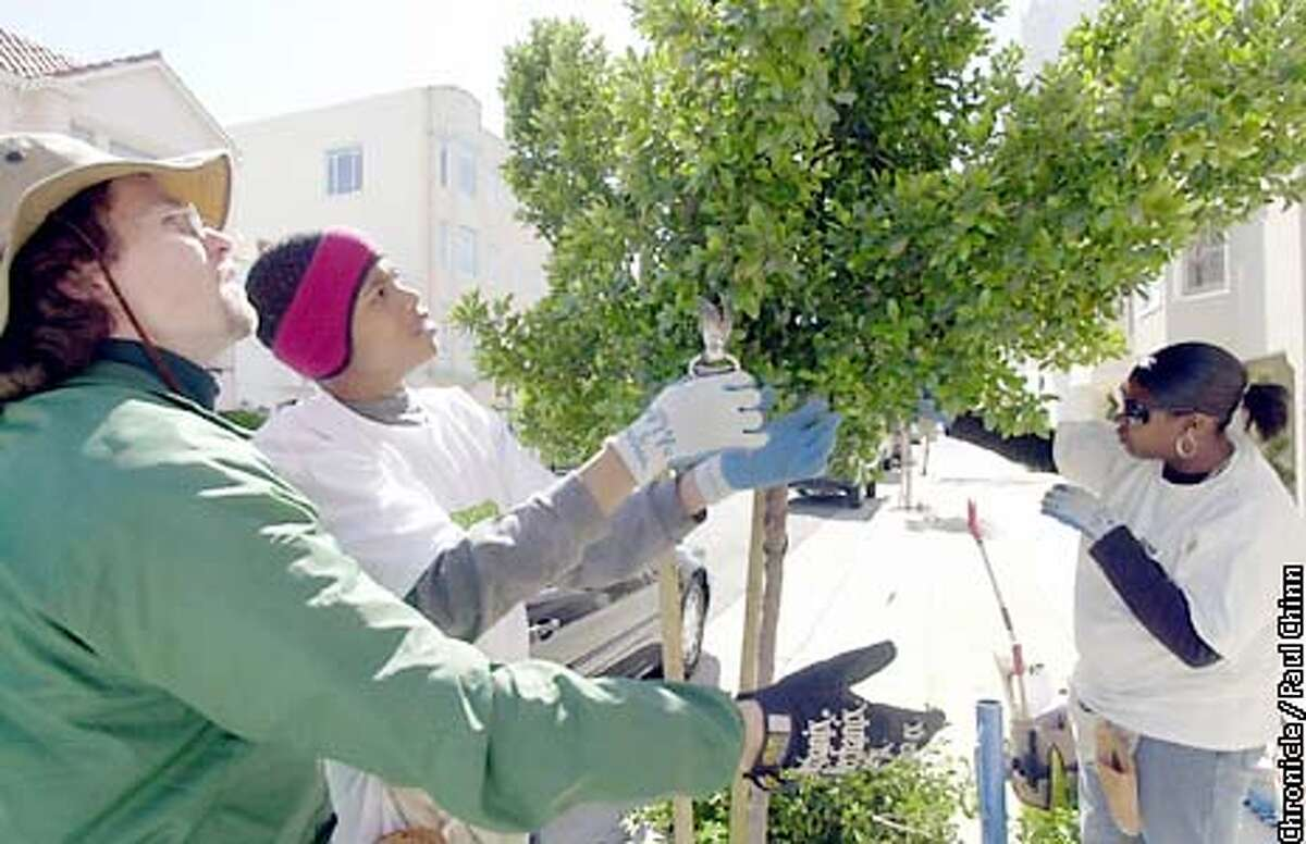 At left, Chris Buck of Friends of the Urban Forest, assisted Frederick Maye (center) and Jawanna Victoria who were pruning a tree on Webster St. in the Marina district. PAUL CHINN/S.F. CHRONICLE