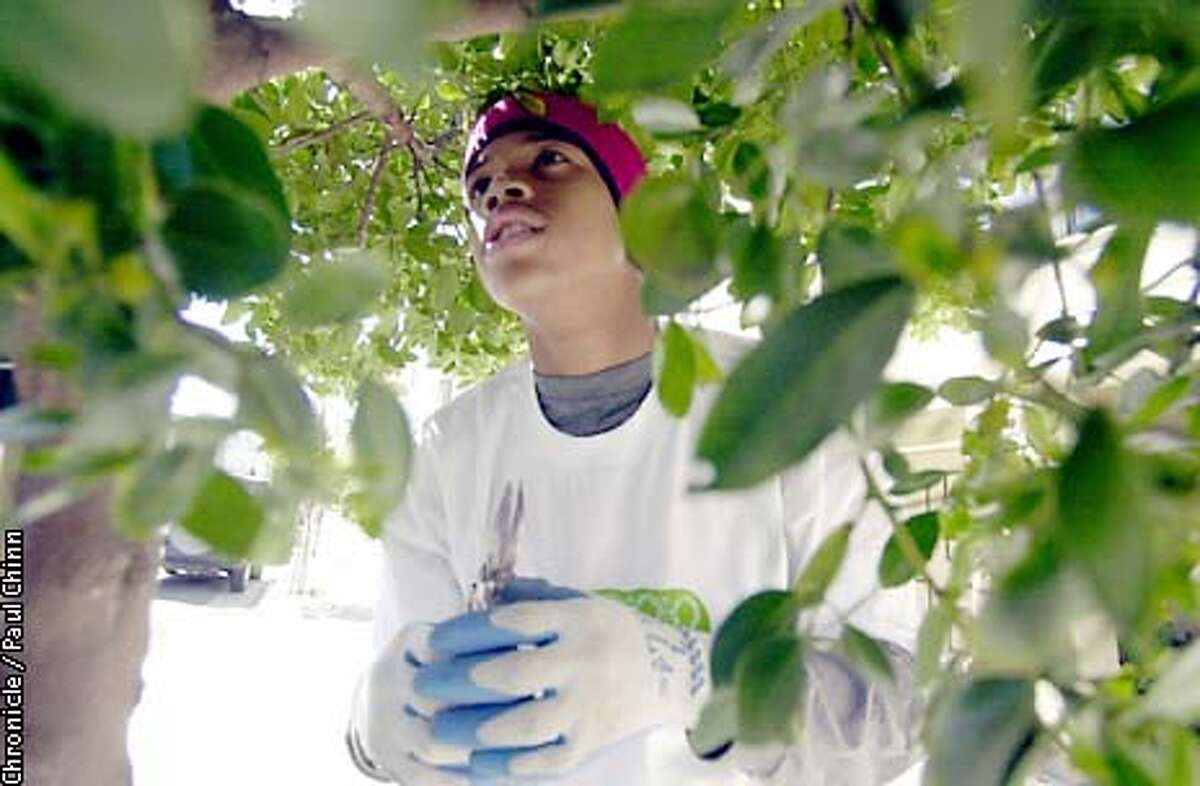 Armed with his small pruning shears, Frederick Maye, 15, searched for a limb to trim from a tree on Webster St. in the Marina district. PAUL CHINN/S.F. CHRONICLE