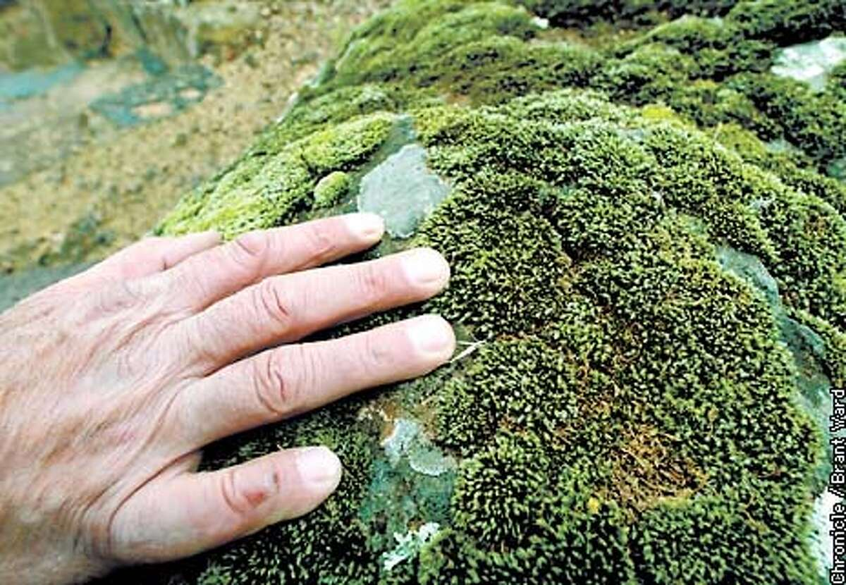 Mason George Gonzalez looked over some lichen and moss growing on a bolder he used near a staircase...the natural look of lichens and moss are a big factor in using the big boulders. By Brant Ward/Chronicle