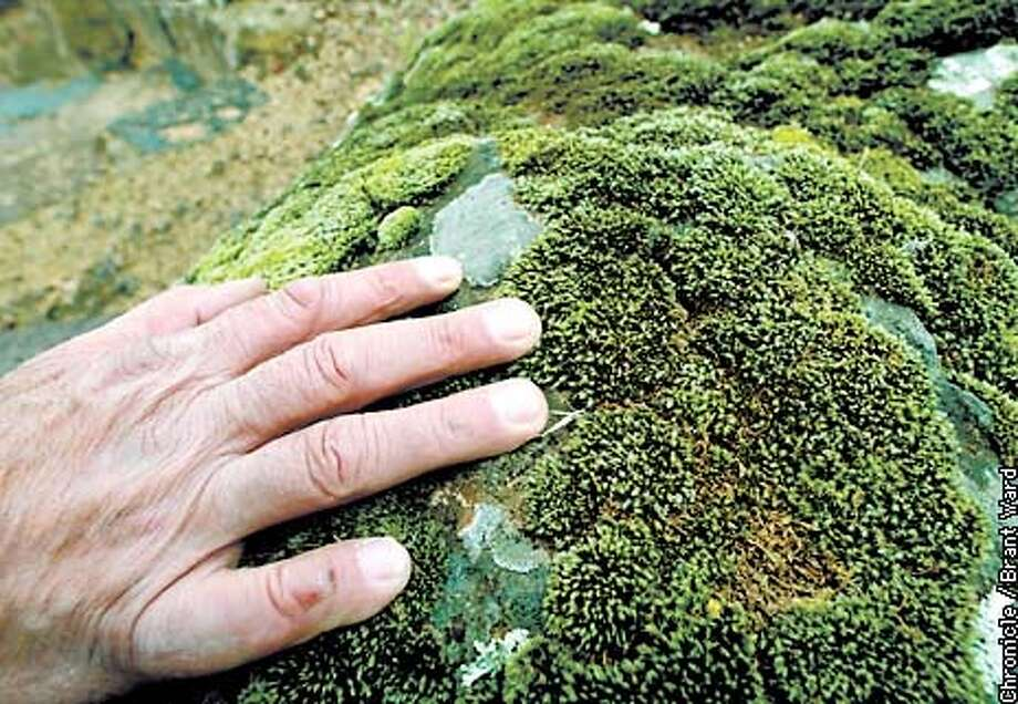 Mason George Gonzalez looked over some lichen and moss growing on a bolder he used near a staircase...the natural look of lichens and moss are a big factor in using the big boulders. By Brant Ward/Chronicle Photo: BRANT WARD