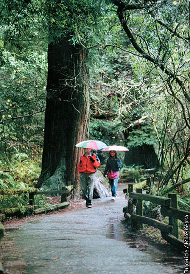 Muir Woods is a good -- if unexpected -- place to get out of the rain. Chronicle photo by Mike Kepka