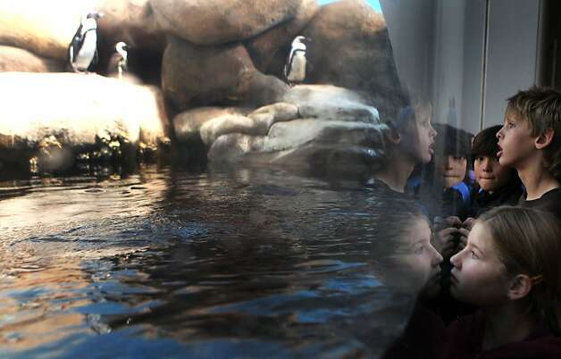 School children visit the African penguin colony exhibit at the California Academy of Sciences Thursday, January 26, 2012. Photo: Lance Iversen, The Chronicle