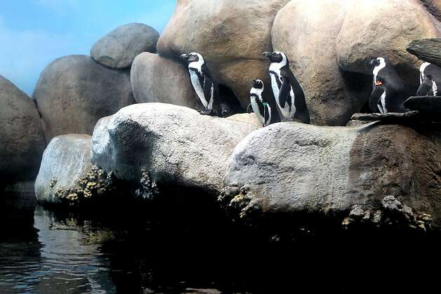 Members of the African penguin colony exhibit at the California Academy of Sciences emerge from their dens Thursday, January 26, 2012. Photo: Lance Iversen, The Chronicle