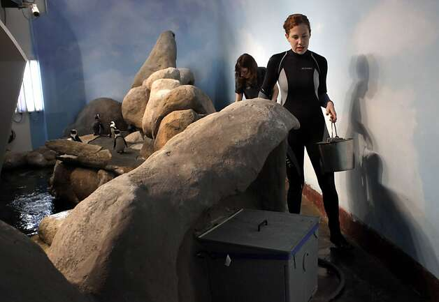 Aquatic Biologist Brooke Weinstein feeds the African penguin colony at the California Academy of Sciences, Thursday January 19, 2012, in San Francisco, Calif. Photo: Lacy Atkins, The Chronicle