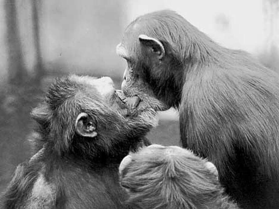 Chimpanzees tyically seal a postconflict reunion,or reconciliation, with a mouth-to-mouth kiss, as here by a female, right, to the dominant male. (Photograph by B. M. de Waal)