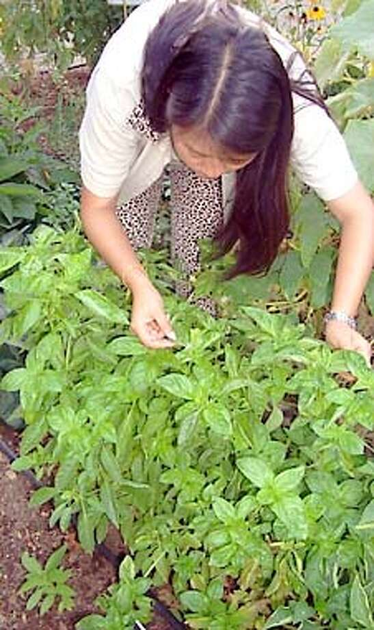 Master gardener Joyce Tu examines a patch of basil plants. Photo courtesy of Jindrich Zejda