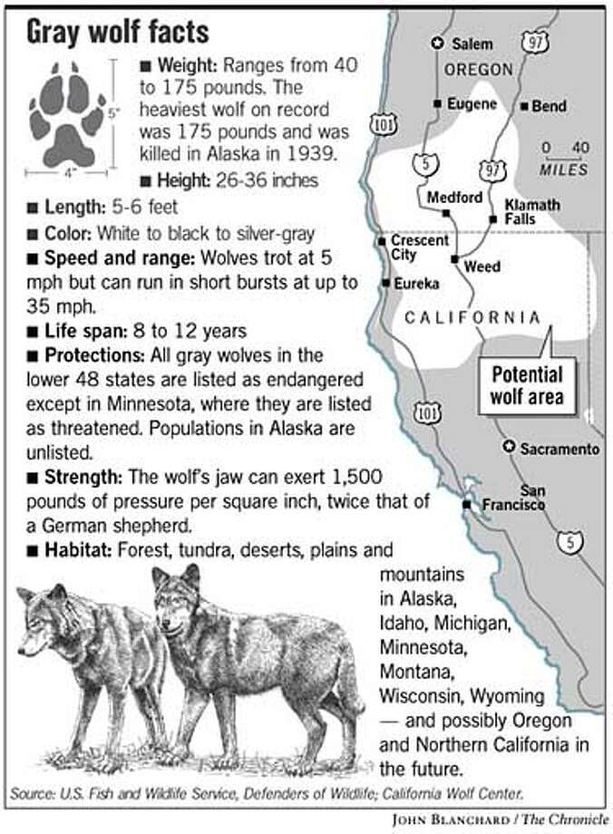 Gray Wolf Facts. Chronicle Graphic by John Blanchard