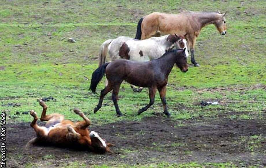 Seeming to enjoy the rainy weather, three horses take a run through the rain while their coralmate rolls in the freshly made mud on a ranch just outside Clayton off Marsh Creek road . SAN FRANCISCO CHRONICLE PHOTO BY KAT WADE Photo: KAT WADE