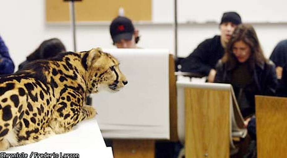 ": Art students at ""The Art Insitutes International"" in SF drew rare wildcats (such as ""Kgosi"" the cheetah and a linx during their ""Life Drawing and ""Anatomy"" class. The handlers where Rob and Barbara Dicely of Leopard Etc., of Occcidential. Chronicle photo by Frederic Larson Photo: FREDERIC LARSON"