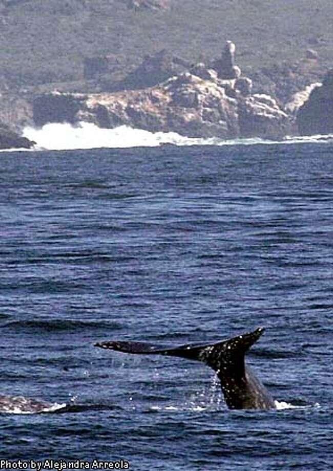 TIJ10207016. DURANTE LOS MESES DE FEBRERO Y MARZO, EN LAS COSTAS DE BAJA CALIFORNIA DEL OCEANO PACIFICO PUEDE OBSERVARSE EL PASO DE LA BALLENA GRIS, UNO DE LOS MAMIFEROS QUE HACE EL VIAJE DE MIGRACION MAS LARGO QUE SE CONOCE PARA PROCREARSE. NOTIMEX/FOTO/ALEJANDRA ARREOLA/AAL/GEN/  In February and March each year, the gray whale swims along the Baja California coast on their way to their  customary breeding grounds. NOTIMEX/PHOTO/ALEJANDRA ARREOLA/AAL/GEN/ Photo: ALEJANDRA ARREOLA