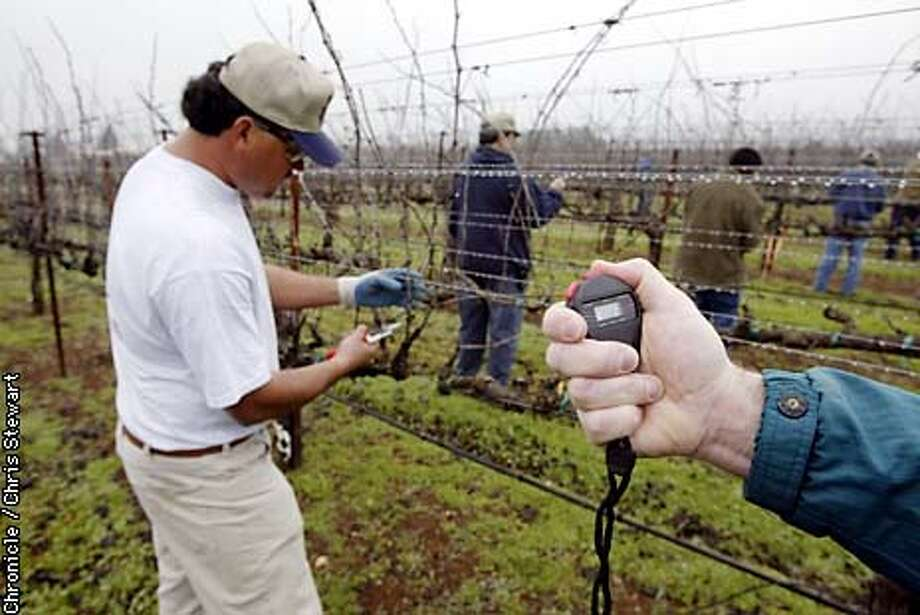Manuel Chavez of Sonoma County is timed as he prunes grape vines during a pruning competition. Two grape vine pruning finalists from prior pruning events in Marin, Sonoma, Mendocino, Lake and Napa counties faced off today for a pruning showdown. The ten met at a vineyard grown by the Santa Rosa Junior College near Forestville in Sonoma County. BY CHRIS STEWART/THE CHRONICLE Photo: CHRIS STEWART