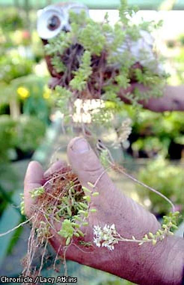 John Lill, shows off the sedem plant ( sedum brevifolium) whose first cutting came from his grand-mothers trip to Ledds Castle in England, ten years ago. She had put a cutting in her camera bag and several weeks later planted it. How she has passed other cutting to friends and family.  Photo By Lacy Atkins/SanFrancisco Chronicle Photo: Lacy Atkins