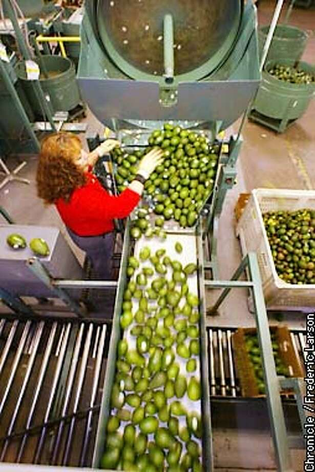 : Maria Lemos sorts the different sizes of avocados at the Calavo packinghouse in Santa Paula, California. Chronicle photo by Frederic Larson Photo: FREDERIC LARSON