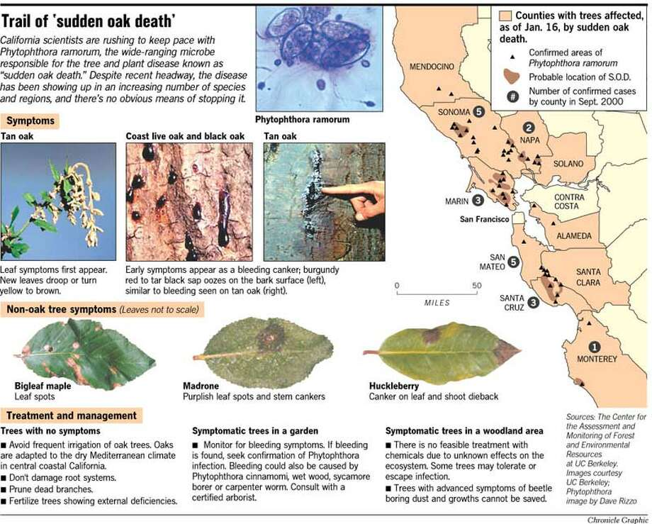 Trail of Sudden Oak Death. Images courtesy of UC Berkeley. Chronicle Graphic