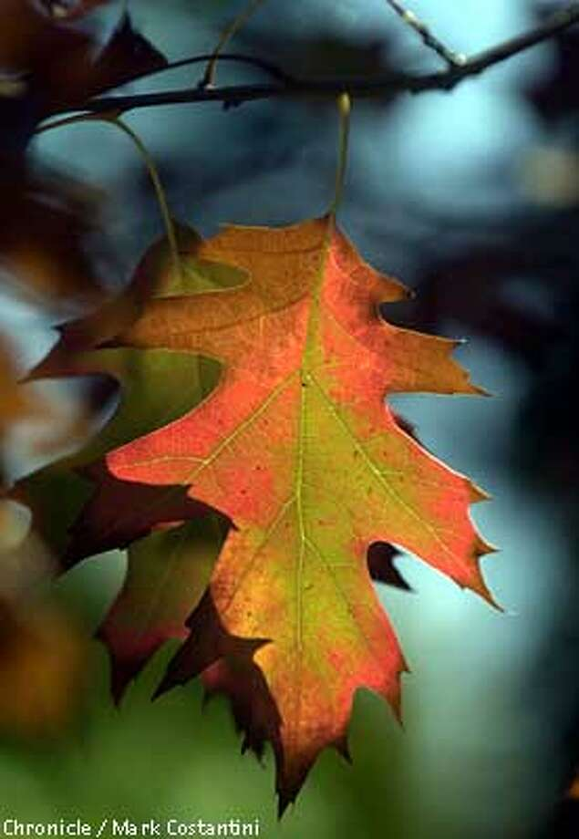 Red oak leaves turning color in Kensington. PHOTO: MARK COSTANTINI/THE CHRONICLE Photo: MARK COSTANTINI