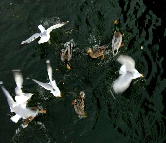 Ducks and seagulls feed in the water as people feed them from the foot bridge at Milford Harbor in Milford, Conn. on Tuesday January 31, 2012. Photo: Christian Abraham / Connecticut Post