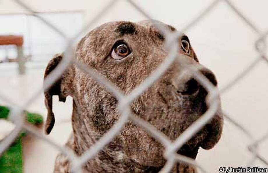 Hera, 2, a Mastiff-Canary Island mix, sits in a cage at the San Francisco Animal Control Tuesday, Jan. 30, 2001. Hera's companion Bane, a 3-year-old, 120-pound Mastiff-Canary Island dog mix, attacked and killed a 33-year-old San Francisco woman in front of her apartment Friday. (AP Photo/Justin Sullivan) ALSO RAN 2/18/2001, 8/10/2001 Photo: JUSTIN SULLIVAN