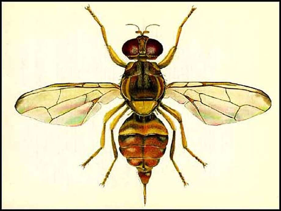 Illustration of a guava fruit fly, provided to us by the California Department of Food and Agriculture.