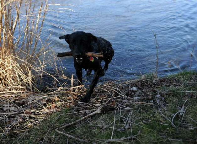 Pam Kegels' dog, Red, fetches a stick from the creek near her home in Fairfield  Tuesday, Jan. 31, 2012. Photo: Autumn Driscoll / Connecticut Post