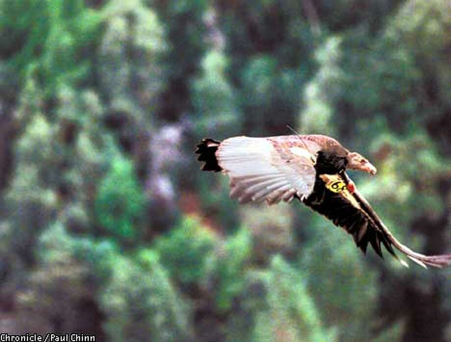A California condor takes flight Saturday, Jan. 30, 1999, as it leaves a flight pen and heads for the wild country of the Ventana Wilderness south of Big Sur, Calif. (AP Photo/Paul Chinn) Photo: PAUL CHINN