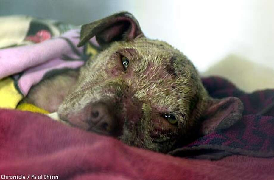 A pitbull puppy named Theodore recovered from his burns in his hospital kennel. Two teenaged boys are in custody after allegedly setting fire to the three-month-old pitbull and tossing him in a crawl space under an apartment building.  PAUL CHINN/S.F. CHRONICLE Photo: PAUL CHINN