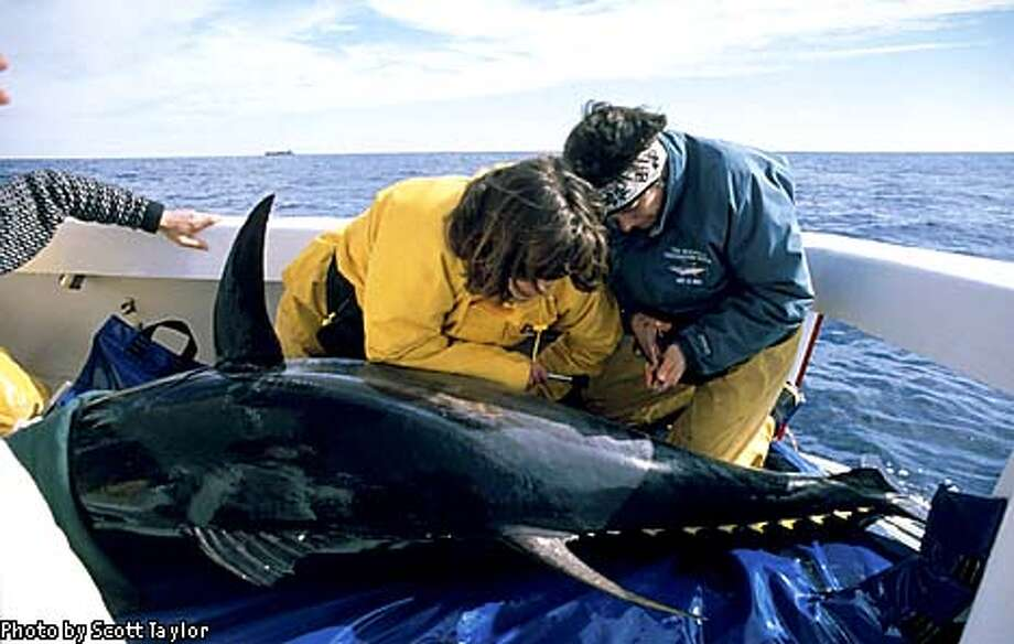 Tuna Study 3.jpg-(tu003): Heidi Dewar (left) and Dr. Barbara Block (right) of  the Tuna Research and Conservation Center place an archival electronic tag in an Atlantic  bluefin tuna off the coast of North Carolina. (c Scott Taylor - MUST CREDIT)