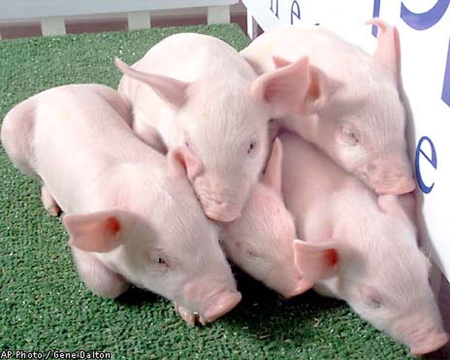 Five cloned pigs huddle at PPL Therapeutics prior to a news conference Wednesday, Jan. 2, 2002 in Blacksburg, Va. PPL Therapeutics has cloned five piglets that were genetically engineered to make their organs more suitable for human transplants, company officials said. (AP Photo/Roanoke Times, Gene Dalton) Photo: GENE DALTON